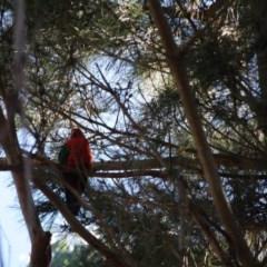 Alisterus scapularis (Australian King-Parrot) at Mongarlowe River - 16 Apr 2019 by LisaH
