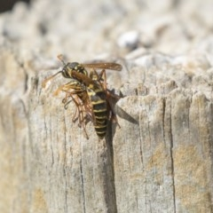 Polistes (Polistes) chinensis (Asian paper wasp) at Fyshwick, ACT - 16 Apr 2019 by AlisonMilton