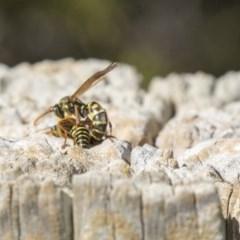 Polistes (Polistes) chinensis at Jerrabomberra Wetlands - 16 Apr 2019
