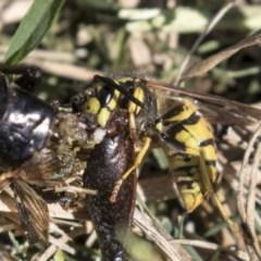 Vespula germanica (European wasp) at Fyshwick, ACT - 16 Apr 2019 by AlisonMilton