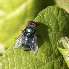 Chrysomya sp. (genus) (A green/blue blowfly) at Fyshwick, ACT - 16 Apr 2019 by AlisonMilton