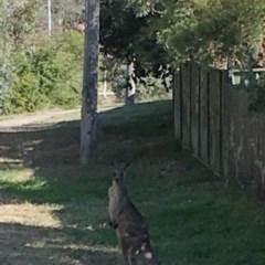 Macropus giganteus (Eastern Grey Kangaroo) at Flynn, ACT - 17 Apr 2019 by dhkmapr