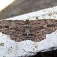 Ectropis excursaria (Common Bark Moth) at Macarthur, ACT - 17 Apr 2019 by RodDeb