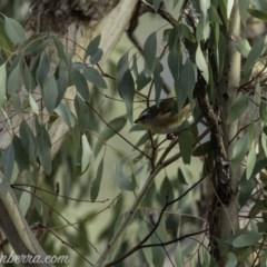Pardalotus striatus (Striated Pardalote) at The Pinnacle - 6 Apr 2019 by BIrdsinCanberra