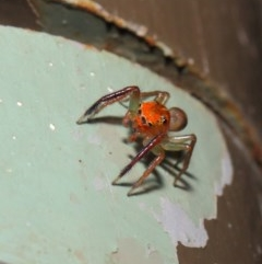 Prostheclina pallida (Orange jumping spider) at ANBG - 17 Apr 2019 by TimL