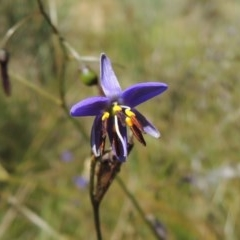 Dianella revoluta var. revoluta (Black-anther Flax Lily) at Conder, ACT - 17 Nov 2016 by michaelb