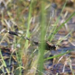 Orthetrum sabina (Slender Skimmer) at Jervis Bay National Park - 17 Apr 2019 by CBrandis