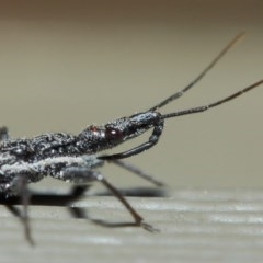 Piestolestes obscurus (Assassin bug) at ANBG - 17 Apr 2019 by TimL