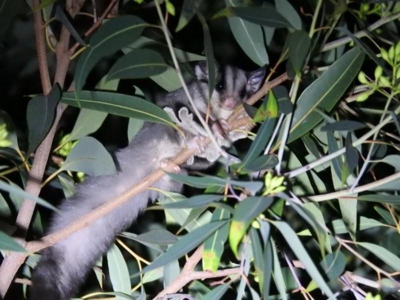 Petaurus breviceps at ANBG - 18 Apr 2019