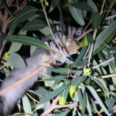 Petaurus breviceps (Sugar Glider) at ANBG - 18 Apr 2019 by HelenCross