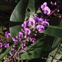 Hardenbergia violacea (False Sarsaparilla) at Conder, ACT - 2 Aug 2018 by michaelb