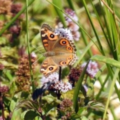 Junonia villida (Meadow Argus) at Jerrabomberra Wetlands - 18 Apr 2019 by RodDeb
