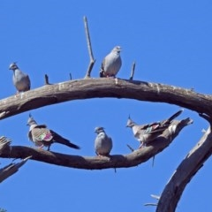 Ocyphaps lophotes (Crested Pigeon) at Jerrabomberra Wetlands - 18 Apr 2019 by RodDeb