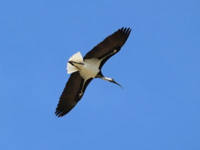 Threskiornis spinicollis (Straw-necked Ibis) at Fyshwick, ACT - 18 Apr 2019 by RodDeb