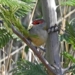 Neochmia temporalis (Red-browed Finch) at Jerrabomberra Wetlands - 18 Apr 2019 by RodDeb