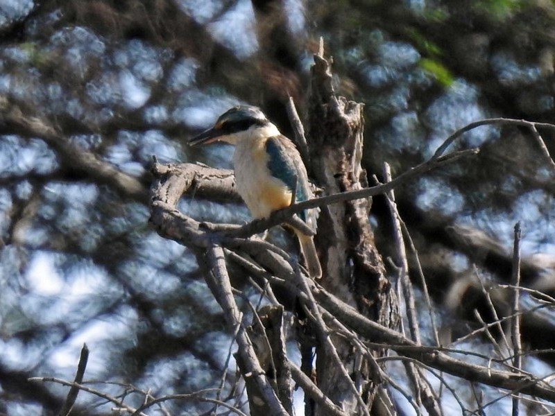 Todiramphus sanctus at Jerrabomberra Wetlands - 18 Apr 2019