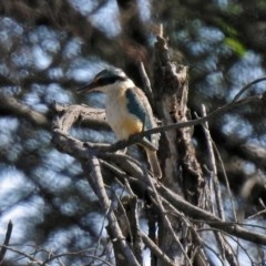 Todiramphus sanctus (Sacred Kingfisher) at Jerrabomberra Wetlands - 18 Apr 2019 by RodDeb