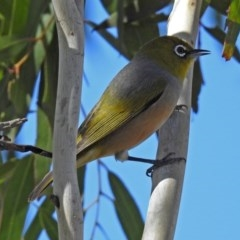 Zosterops lateralis (Silvereye) at Jerrabomberra Wetlands - 18 Apr 2019 by RodDeb