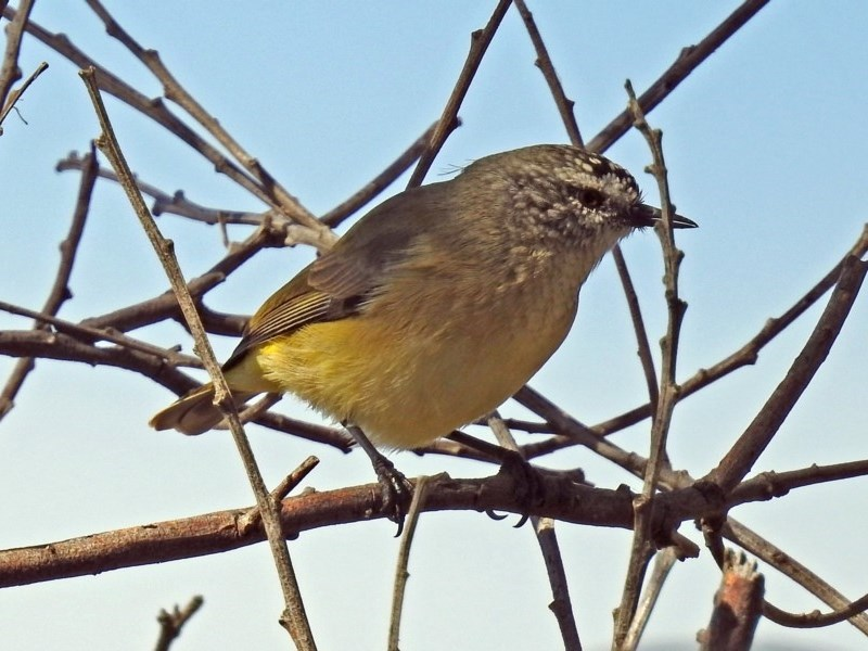Acanthiza chrysorrhoa at Jerrabomberra Wetlands - 18 Apr 2019