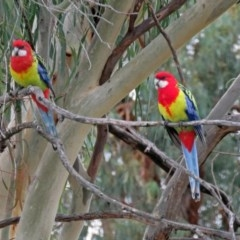 Platycercus eximius (Eastern Rosella) at Macarthur, ACT - 18 Apr 2019 by RodDeb