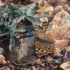 Junonia villida (Meadow Argus) at Hughes Grassy Woodland - 19 Apr 2019 by LisaH