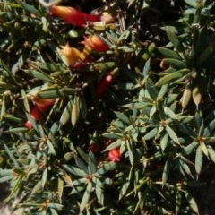 Astroloma humifusum (Cranberry heath) at Tuggeranong Hill - 20 Apr 2019 by Owen