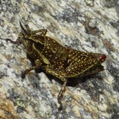 Monistria concinna (Southern Pyrgomorph, Southern Gaudy Grasshopper) at Kosciuszko National Park - 14 Apr 2019 by Jackie Lambert