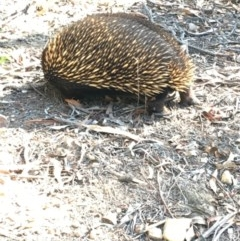 Tachyglossus aculeatus (Short-beaked Echidna) at ANBG - 20 Apr 2019 by KL