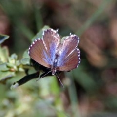 Theclinesthes serpentata (Saltbush Blue) at Queanbeyan, NSW - 20 Apr 2019 by RodDeb