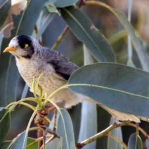 Manorina melanocephala at Queanbeyan East, NSW - 20 Apr 2019