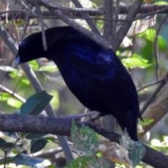 Ptilonorhynchus violaceus (Satin Bowerbird) at Queanbeyan, NSW - 20 Apr 2019 by RodDeb