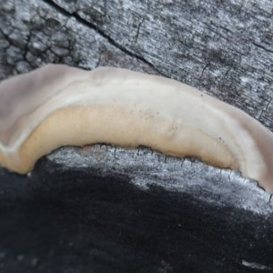 zz Polypore (shelf/hoof-like) at Red Hill Nature Reserve - 20 Apr 2019