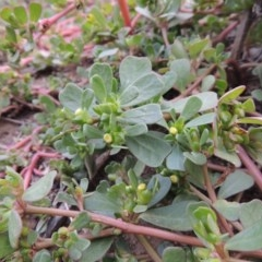 Portulaca oleracea (Pigweed, Purslane) at Gigerline Nature Reserve - 13 Apr 2019 by michaelb