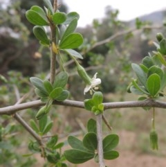 Lycium ferocissimum (African Boxthorn) at Gigerline Nature Reserve - 13 Apr 2019 by michaelb