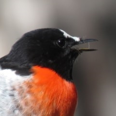 Petroica boodang (Scarlet Robin) at Stony Creek Nature Reserve - 19 Apr 2019 by KumikoCallaway