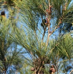 Allocasuarina littoralis (Black She-oak) at South Pacific Heathland Reserve - 20 Apr 2019 by NicholasdeJong