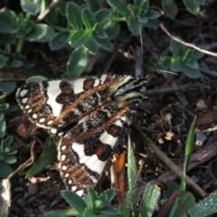 Apina callisto (Pasture Day Moth) at Wanniassa Hill - 20 Apr 2019 by KumikoCallaway