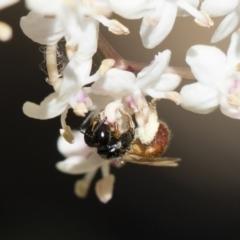 Exoneura sp. (genus) at Illilanga & Baroona - 28 Oct 2018