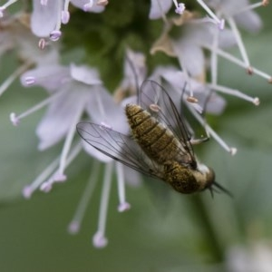 Geron sp. (genus) at Illilanga & Baroona - 22 Mar 2019
