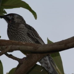 Anthochaera carunculata (Red Wattlebird) at Hughes Grassy Woodland - 22 Apr 2019 by LisaH