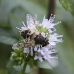 Eristalis tenax (Drone fly) at Illilanga & Baroona - 22 Mar 2019 by Illilanga