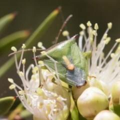 Cuspicona thoracica at Michelago, NSW - 23 Dec 2018
