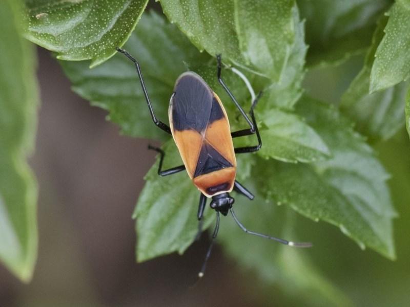 Dindymus versicolor at Michelago, NSW - 5 Apr 2019