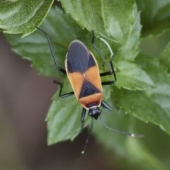 Dindymus versicolor (Harlequin bug) at Illilanga & Baroona - 5 Apr 2019 by Illilanga