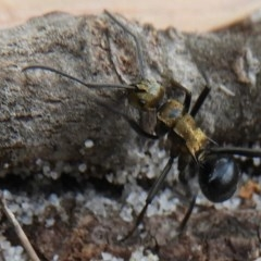 Polyrhachis semiaurata (Spiny ant) at Guerilla Bay, NSW - 18 Apr 2019 by Christine