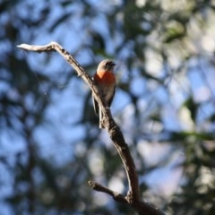 Petroica boodang (Scarlet Robin) at Red Hill Nature Reserve - 22 Apr 2019 by LisaH