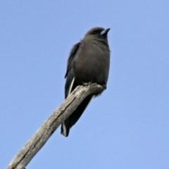 Artamus cyanopterus (Dusky Woodswallow) at Namadgi National Park - 21 Apr 2019 by RodDeb