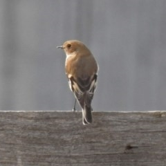 Petroica phoenicea (Flame Robin) at Paddys River, ACT - 21 Apr 2019 by RodDeb