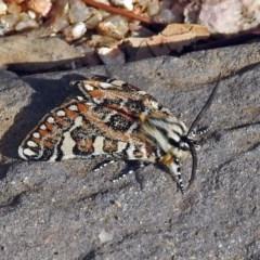 Apina callisto (Pasture Day Moth) at Namadgi National Park - 21 Apr 2019 by RodDeb