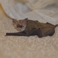 Nyctophilus geoffroyi (Lesser Long-eared Bat) at Wamboin, NSW - 18 Dec 2018 by natureguy